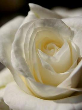 The White Rose of York Luxury Glycerin Soap - Ivory Rose... #ILOVEYORKCITY Exclusive