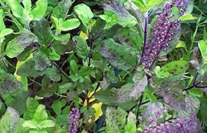 Organic Holy Basil Krishna