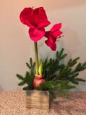 "20"" Amaryllis with mini fir arrangement"