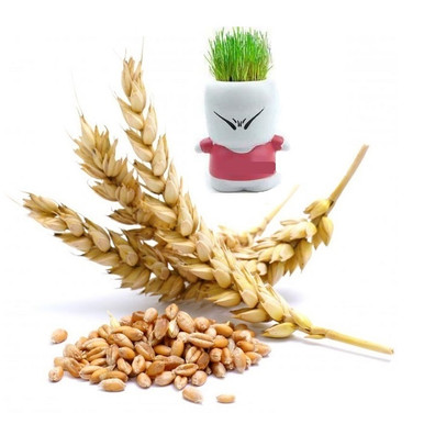 Unpelted (Gandom Sabze) Wheat for Sprouting 1lb