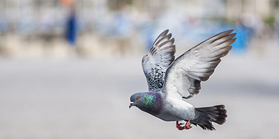 pigeon-in-flight-catagories-header.png