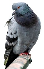 pigeon-racing-and-supplements.jpg