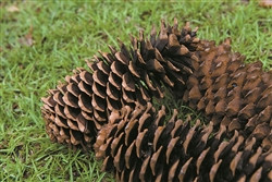 SUGAR PINE CONES NATURAL - PACKED 12