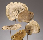SPONGE MUSHROOMS ON STEM - NATURAL - 20 BUNCHES