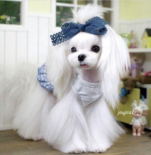 Korean style dog grooming style