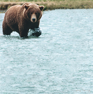 Bear Wonder