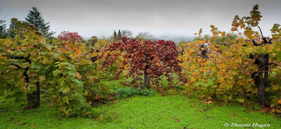fall-vineyard-mod-980x450.jpg