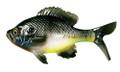 "13 Fishing CB-Gill5.25-9 The Gill - - Swimbait - 5.25"" - Natural Bluegill - CB-GILL5.25-9"