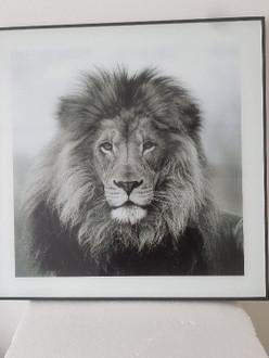 Lion Plaque 50X50