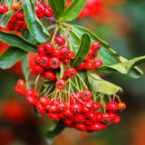 5 Pyracantha 'Red Cushion' / Firethorn 'Red Cushion' 15-20cm Tall In 9cm Pots