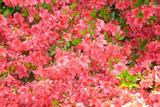 Azalea / Rhododendron 'Anne Frank' 20-30cm Tall In 2L Pot, Blanket Of Colours