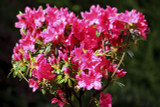 Azalea / Rhododendron Kermesina 20-30cm Tall In 2L Pot, With Rose Pink Flowers