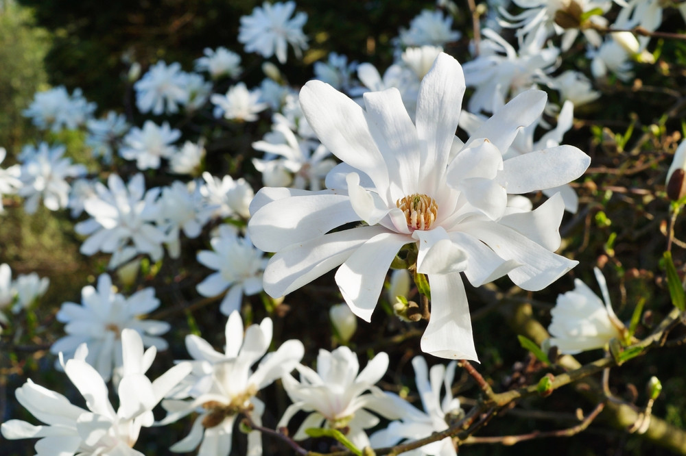 Magnolia Stellata Royal Star Double White Scented Flowers 25 30cm