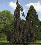 Fagus Sylvatica 'Black Swan' / Weeping Beech 40-60cm in 1.3L Pot