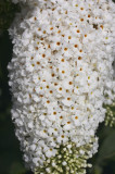 Buddleia davidii 'White Profusion' 1-2ft tall in 2L pot Buddleja Butterfly Bush