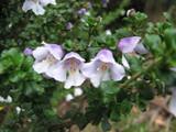 Alpine Mint Bush / Prostanthera Cuneata 20-30cm Evergreen Plant in 2L Pot