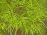 Japanese Maple 'Emerald Lace' Tree, Acer Palmatum 'Emerald Lace' In 12cm Pot
