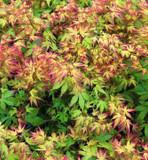 Japanese Maple 'Katsura' Tree, Acer Palmatum 'Katsura' 15-20cm Tall In 12cm Pot