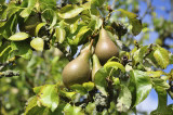 Conference Pear Tree 4-5ft 6L Pot Self-Fertile & Heavy Cropper, Ready to Fruit
