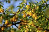 Plum 'Mirabelle de Nancy' 4-5ft in a 6L Pot Self-fertile Incredibly Sweet Honey
