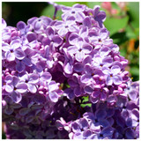3 Branched Lilac Trees 2-3ft Tall Shrubin 2L Pots, Fragant Purple Flowers, Syringa Vulgaris