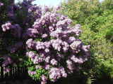 3 Branched Lilac Trees 2-3ft Tall Shrub, Fragant Purple Flowers, Syringa Vulgaris