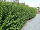 3 Green Privet Plants 2-3ft,Evergreen Hedging,Grow a Quick,Dense Hedge 2L Pots