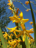 3 Crocosmia × crocosmiiflora 'George Davison' Plants / montbretia In 2L Pots