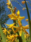 Crocosmia × crocosmiiflora  'George Davison' / montbretia In 2L Pot