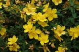 3 St. John's Wort / Hypericum 'Hidcote' 30-40cm Tall Plants In 2L Pots