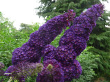 3 Buddleia davidii 'Black Knight' in 2L pot Buddleja Butterfly Bush