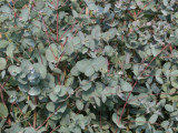 10 Eucalyptus Gunnii 1-2ft Tall In a 2L Pots, Attractive Bark, Aromatic Foliage