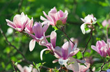 Stunning Magnolia 'Soulangeana' In 2L pot 1-2ft Tall, Large Beautiful Flowers