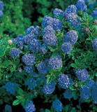 Californian lilac / Ceanothus 'Blue Mound' 20-25cm Tall In 2L Pot, Bright Blue Flowers