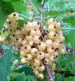 1 Witte Hollander White Currant/Ribes Rubrum 'Witte Hollander', In 2L Pot