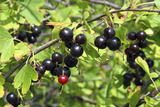 Bushy Jostaberry Ribes 3yr Old in 2L Pot, Self-Fertile, Produces Heavy Crop
