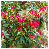 Pieris 'Forest Flame' 10-15cm Tall In a 9cm Pot, Stunning Evergreen Plant