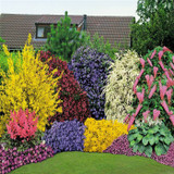 5X MIXED ESTABLISHED GARDEN SHRUBS - QUALITY POTTED PLANTS - COLOURFUL BORDER