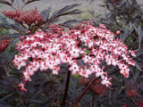 Purple Leaved Elder Flower / Sambucus Nigra 'Black Lace' in 2L Pot, Stunning Flowers