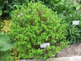 Myrtus Communis Subsp. Tarentina / Tarentum Myrtle 25-30cm Tall In a 2L Pot