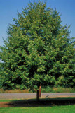 Greenspire Lime / Tilia Cordata 'Greenspire' 3-4ft Tall In 2L Pot