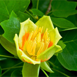 Tulip Tree/Liriodendron Tulipifera, 4-5ft, Uniquely Shaped Leaves in a 6L Pot