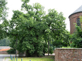 3 English Oak Trees / Quercus Robur 2-3ft Tall In a 2L Pots A Native Wild Tree