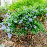 Californian lilac / Ceanothus del. 'Gloire de Versailles' in 2L Pot