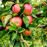 'Beauty Of Bath' Apple Tree 4-5ft Ready to Fruit Mild,Sharp & Sweet Tasting