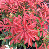Pieris 'Mountain Fire' in 1.5L Pot, Stunning Foliage All Year Around