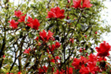Deciduous Azalea Knap Hill Satan 30-40cm Tall In 4L Pot, Red Funnel Shaped Flowers