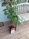 Dwarf Patio Stella Cherry Tree, In a 5L Pot, Miniature & Self-Fertile