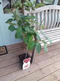 Dwarf Patio Stella Cherry Tree, In a 5L Pot, Miniature & Self-Fertile