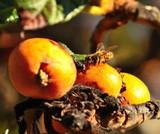 Medlar Nottingham 4-5ft Tree in 6L Pot, Ready to Fruit,Self-Fertile,Good For Jam